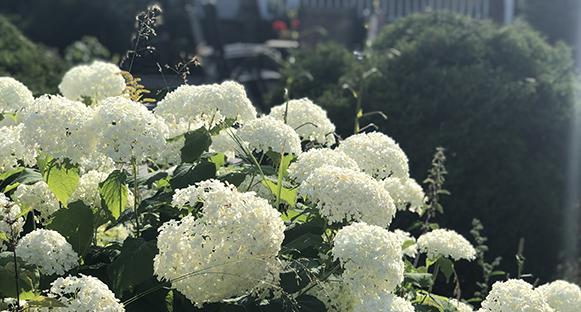 Vit Hortensiabuske