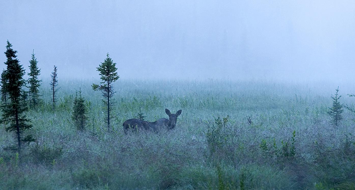Älgko i skog en disig höstdag. Blåa toner i hela bilden.