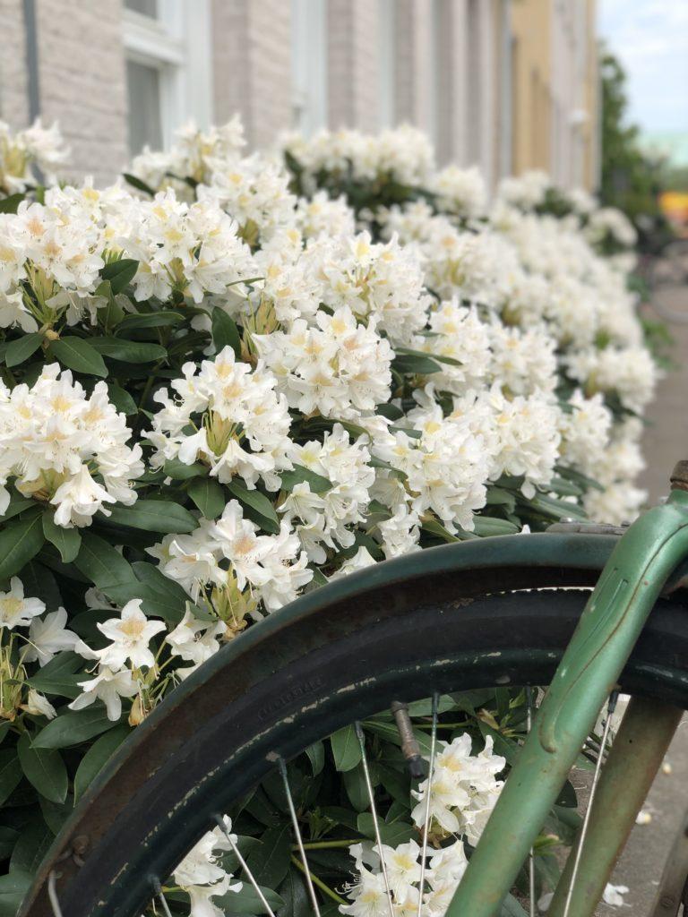 En cykel framför blommande Rhododendron.