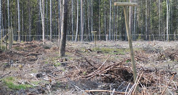 Skogsarbete på Kilenegården