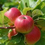 Äpplen på kvist.