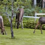 Fyra älgar äter i en trädgård. Det är två kalvar, en ungtjur och en älgko.