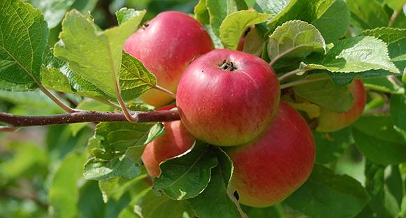 Fina röda äpplen på gren. Ser goda ut.